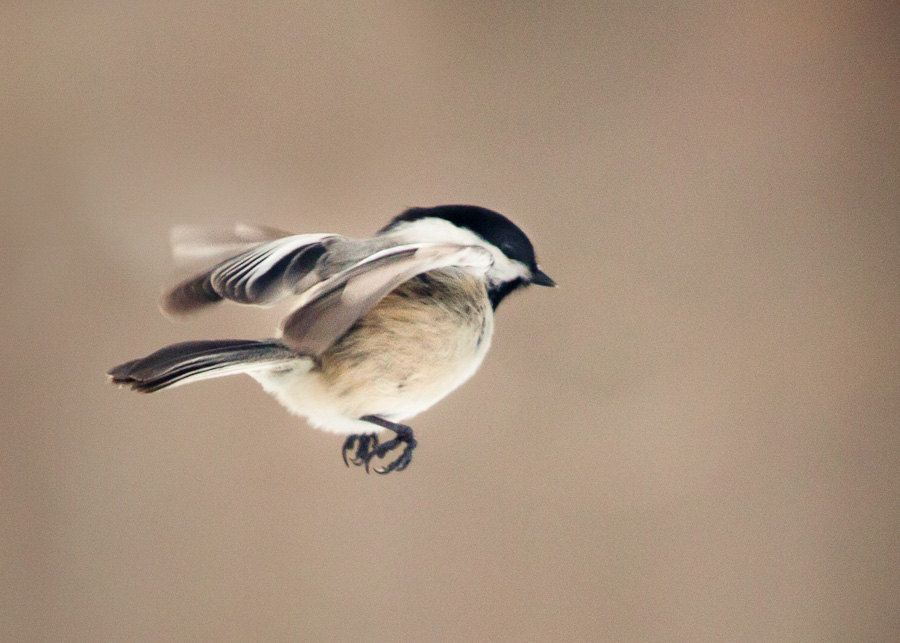 Pin By Molly Boyd On Tattoo Ideas: The Art Of Staying Aloft No.11 Chickadee (Poecile