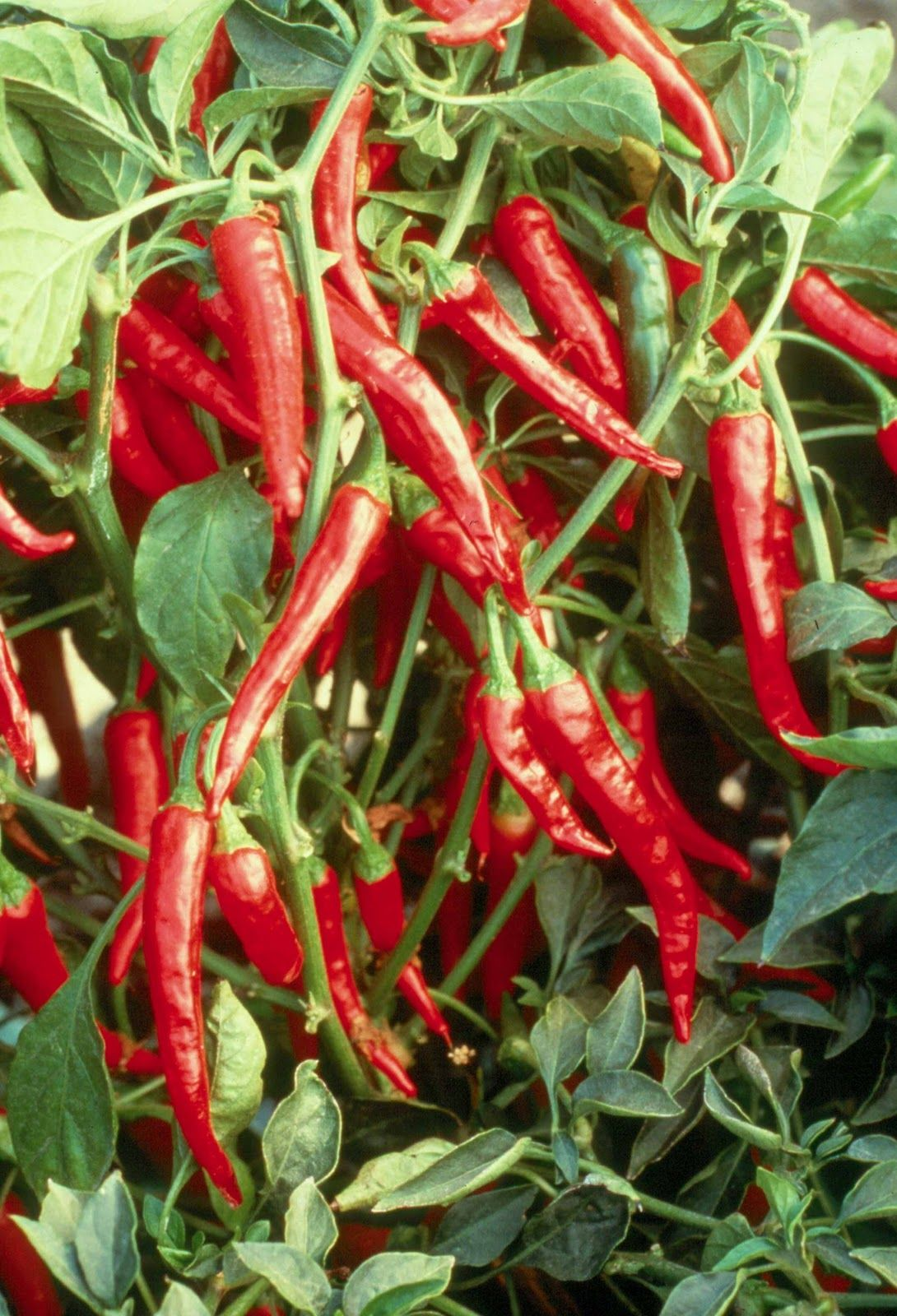 Hot Pepper Plants Ready On The Farm
