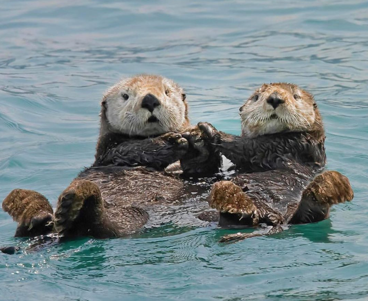 Otter love | Otters cute, Sea otters holding hands, Baby sea otters