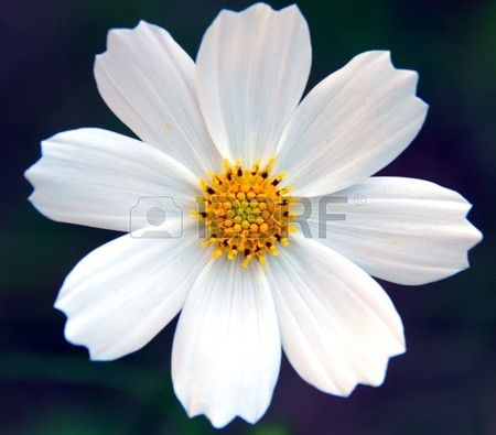 An Isolated Shot Of White Cosmos Flower Cosmos Flowers Flowers Types Of Flowers
