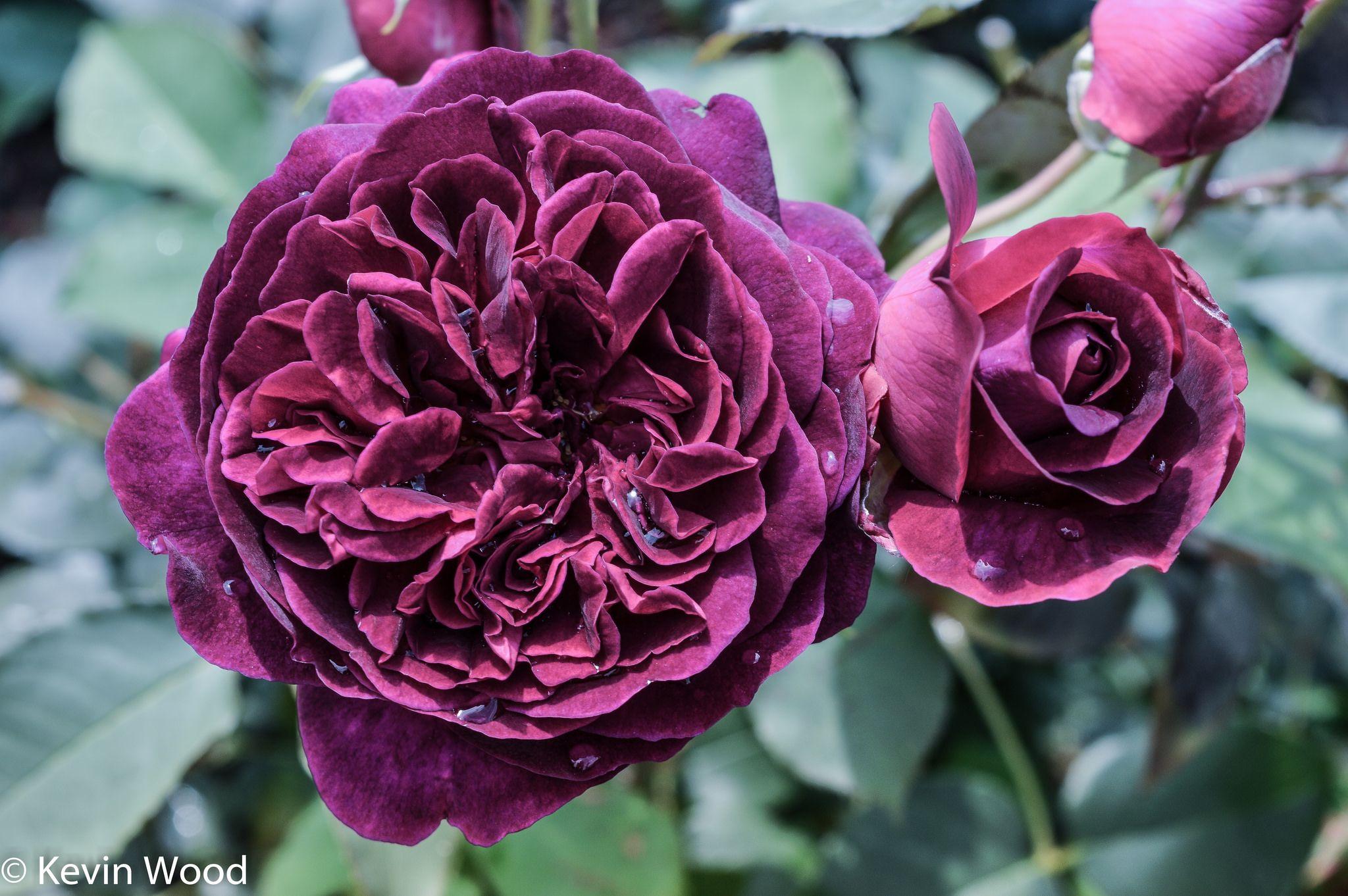 rose munstead wood english rose and david austin roses. Black Bedroom Furniture Sets. Home Design Ideas
