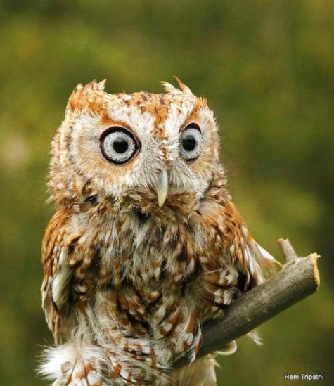 Eastern Screech Owl -- lots of these guys in back of our