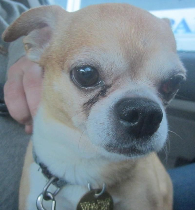 Adopt Hank on (With images) Chihuahua pug mix, Chihuahua