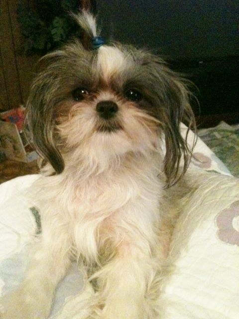 Welovewhitepets My 1 Year Old Imperial Shih Tzu Toby Tangles We