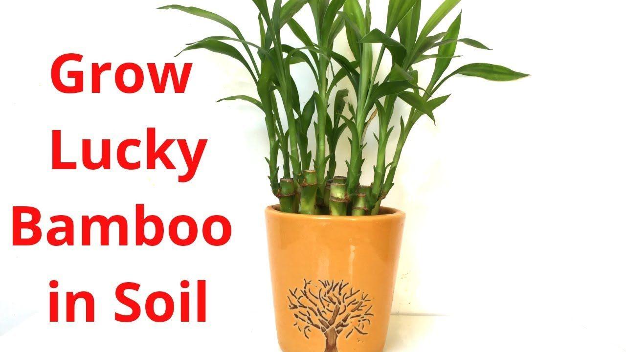How to Grow Lucky Bamboo in Soil Backyard Gardening