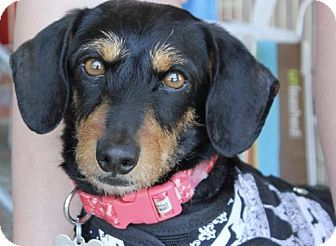 Pin By Daisy Cook On Adopt Dogs Pets Pet Adoption Dachshund