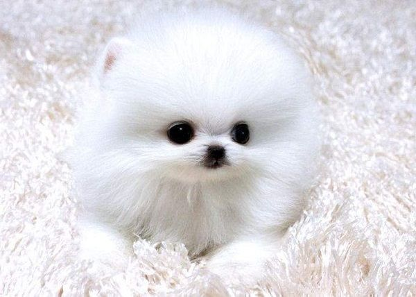 Teacup Pomeranian Puppies For Sale In Colorado Zoe Fans Blog