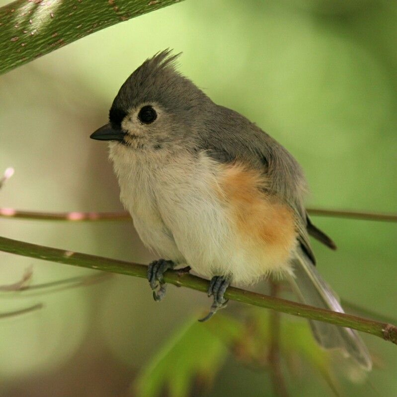 Titmouse Titmouse, Humming bird feeders, Bird feeders