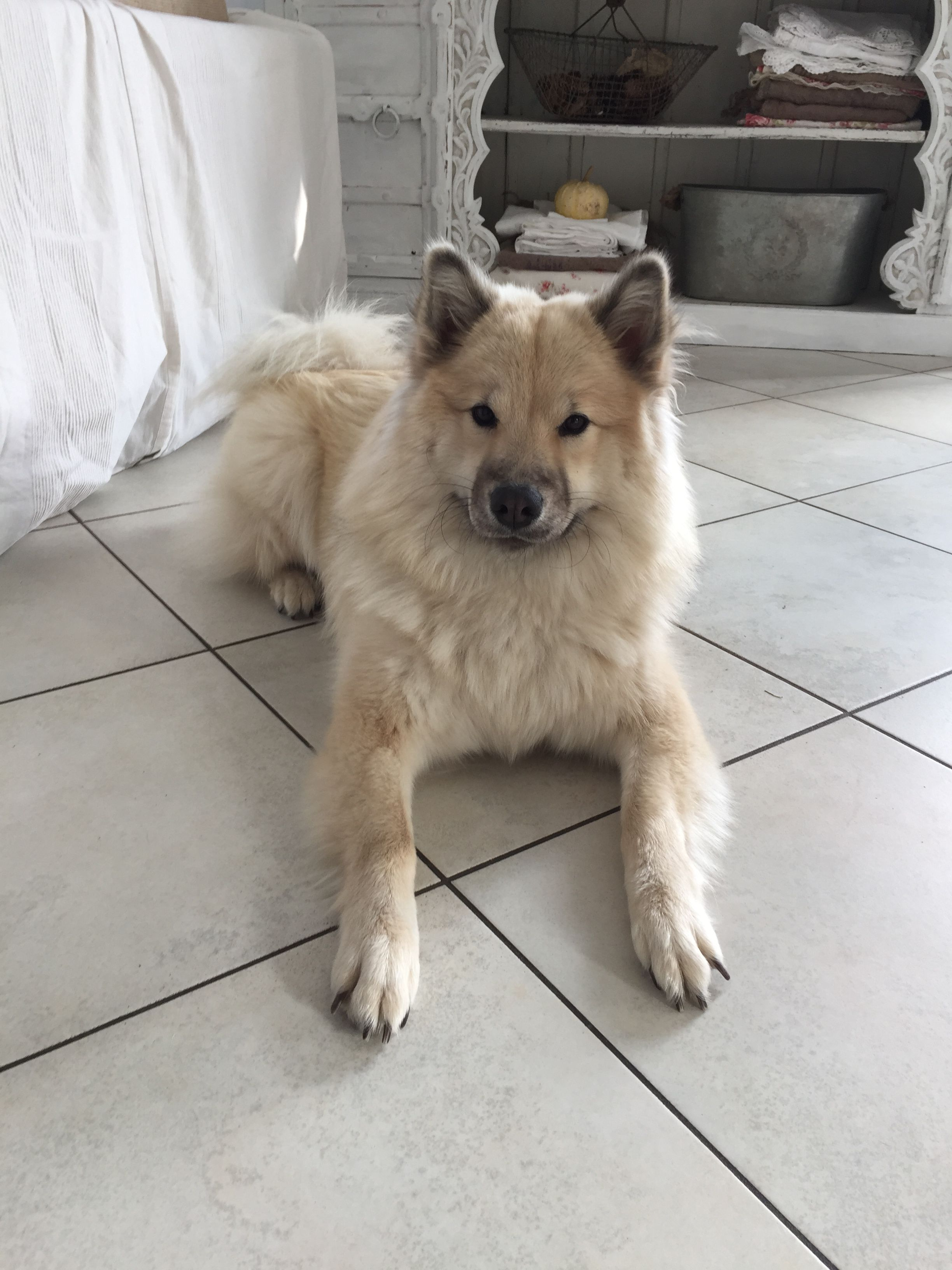 Falben Eurasier Cute Dogs Dog Breeds Wolf Dog