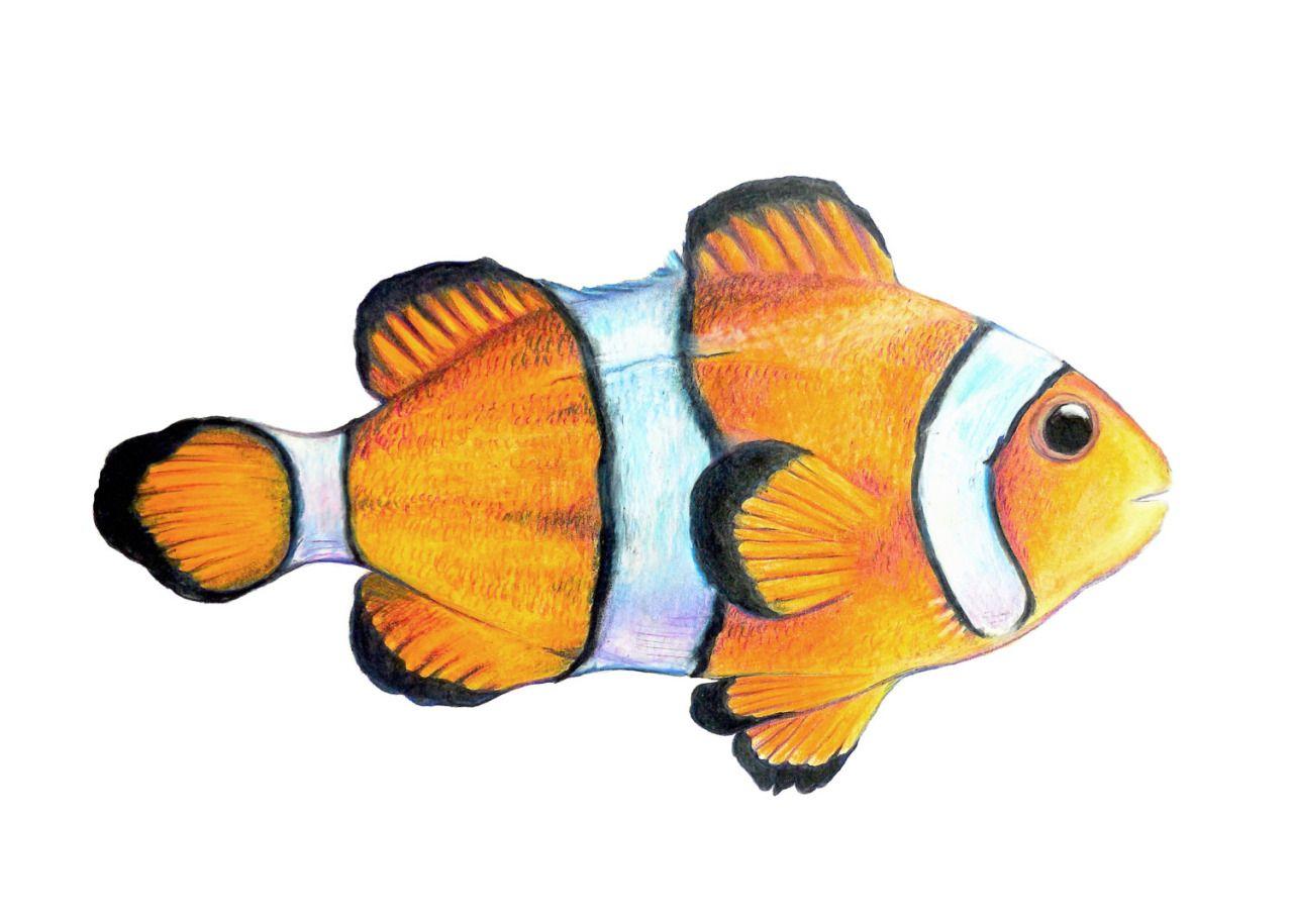Canvaspaintings Clown Fish Print High Quality Giclee Print Of