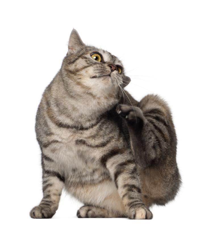 Cat Fleas Remedy Ehow Cat Fleas Cat Has Fleas Flea Medicine For Cats