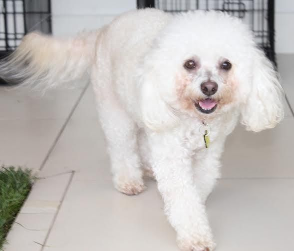 Meet Pippin, an adoptable Poodle looking for a forever home. If you're looking for a new pet to adopt or want information on how to get involved with adoptable pets, Petfinder.com is a great resource.