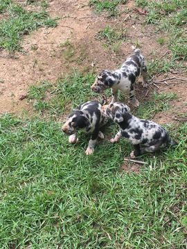 Great Dane Puppy For Sale In Fayette Al Adn 34581 On Puppyfinder