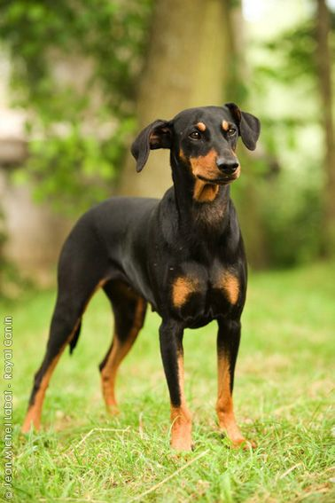 German Pinscher Dog With Images Purebred Dogs Dogs