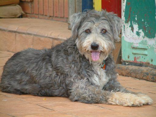 Smithfield Dog Photo The Smithfield Australian Stumpy Tail