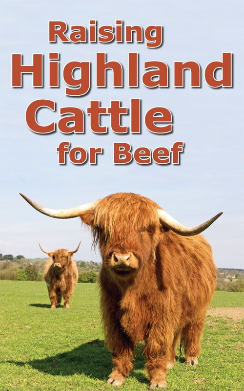 Raising Highland Cattle For Beef With Images Highland Cattle