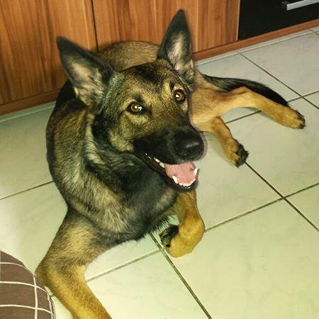 Resultado de imagen para German Shepherd Hund Spaß