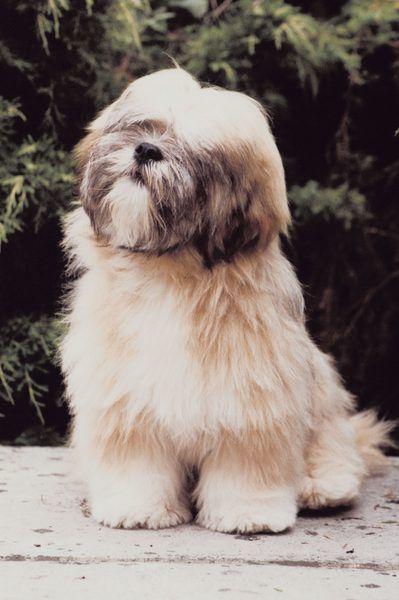 Lhasa Apso Hairstyles Lhasa Apso Lhasa Apso Puppies Dog Breeds