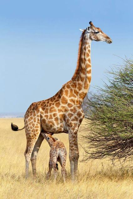 Pin De Lucy Wiley Em Animais Fantasticos E Seres Humanos Formidaveis Girafas Animais Super Fofos Reino Animal