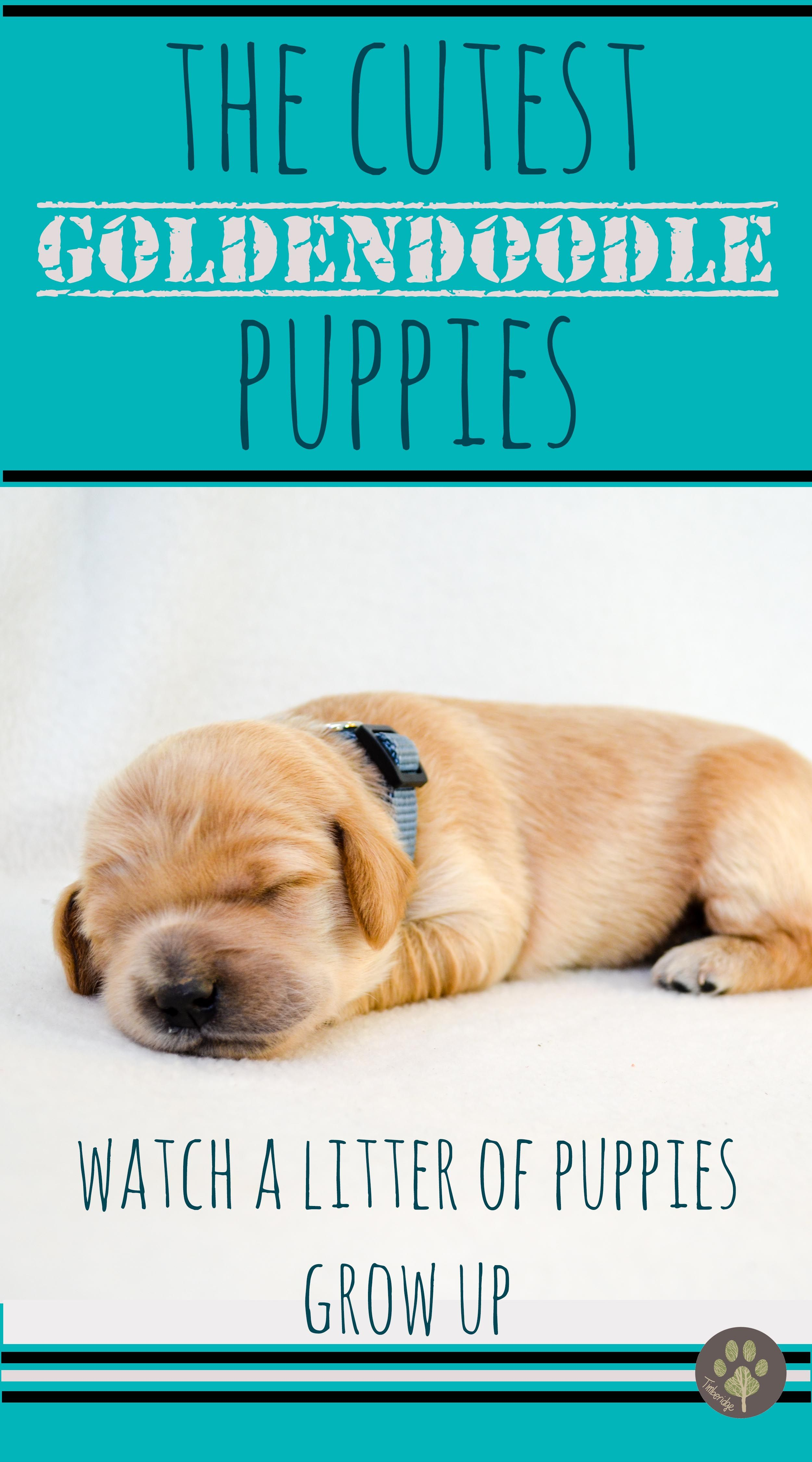 Junie's 2018 Medium English Goldendoodle Puppies (With