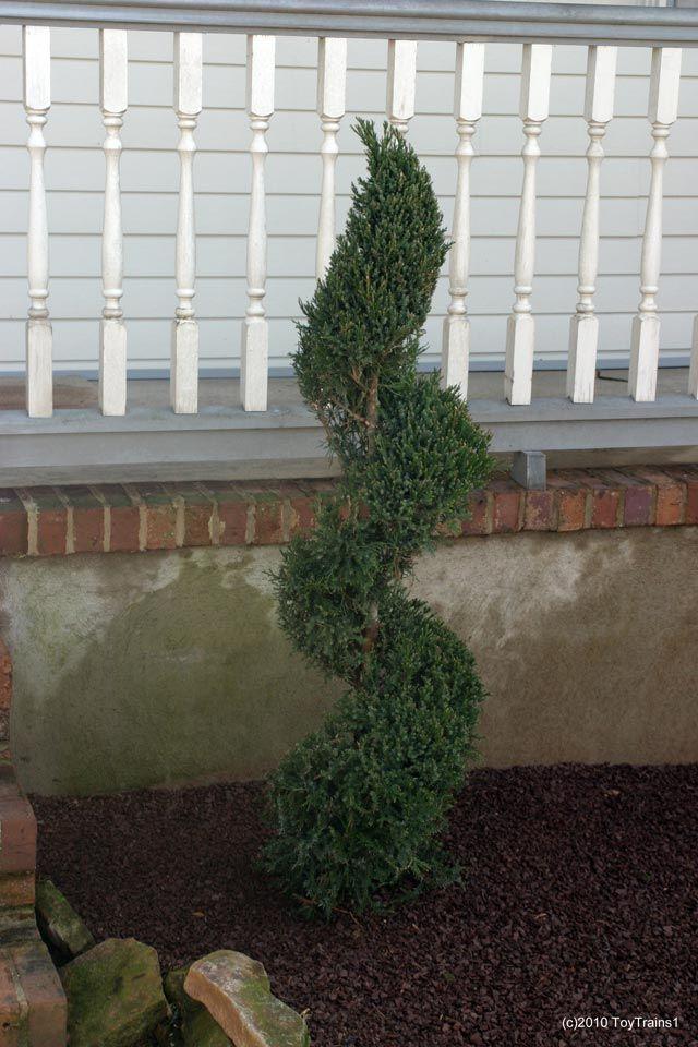 Topairy Juniper Spiral Front Yard Garden Front Yard Spiral Tree