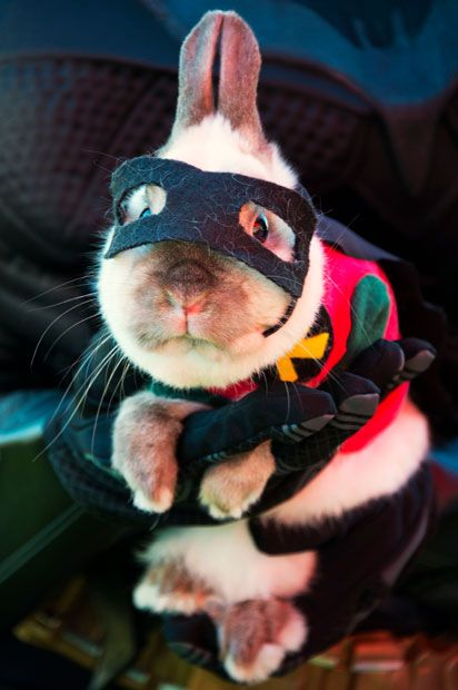 Joey, a dwarf Siamese rabbit, is dressed as Batman's sidekick Robin at a Halloween dog costume parade and contest in Long Beach, California