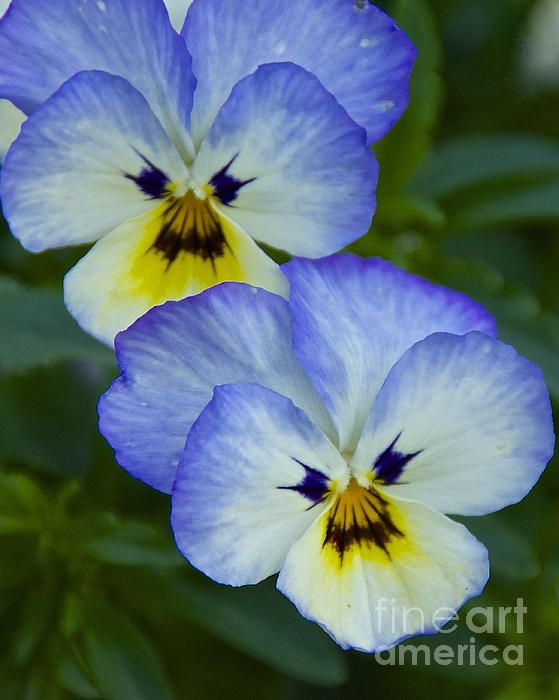July 17, 2012 - Scowling Pansies - Starting at $17 - Click on image for full pricing information.