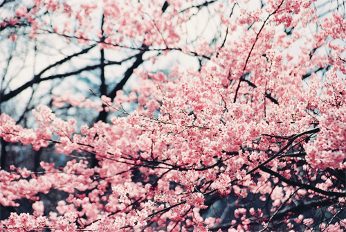 Pin By Emily Lockhart On Floral Flowers Pink Nature Pretty Trees Trees Tumblr