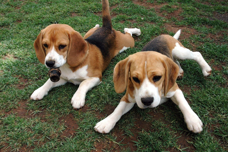 Beagle Animals Cute Beagles Beagle Puppy Beagle Dog