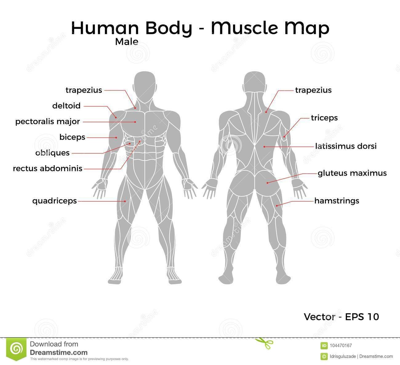 Photo About Male Human Body Muscle Map With Major Muscle
