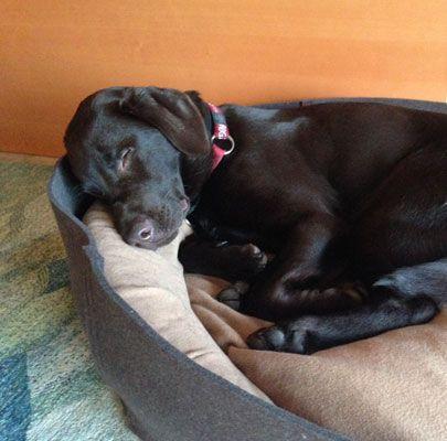 Modernes Hundebett Bowl in Filz für kleine Labrador Hündin