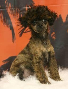 Toy Poodle Brindle Poodle Phantom Poodle Dog Breeds