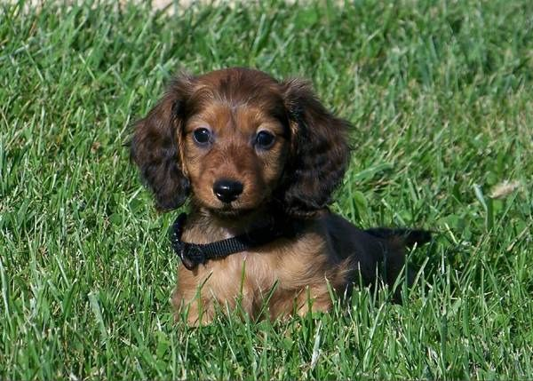 Idea By Kathy Hixon On Puppies Dachshund Puppy Long Haired Long