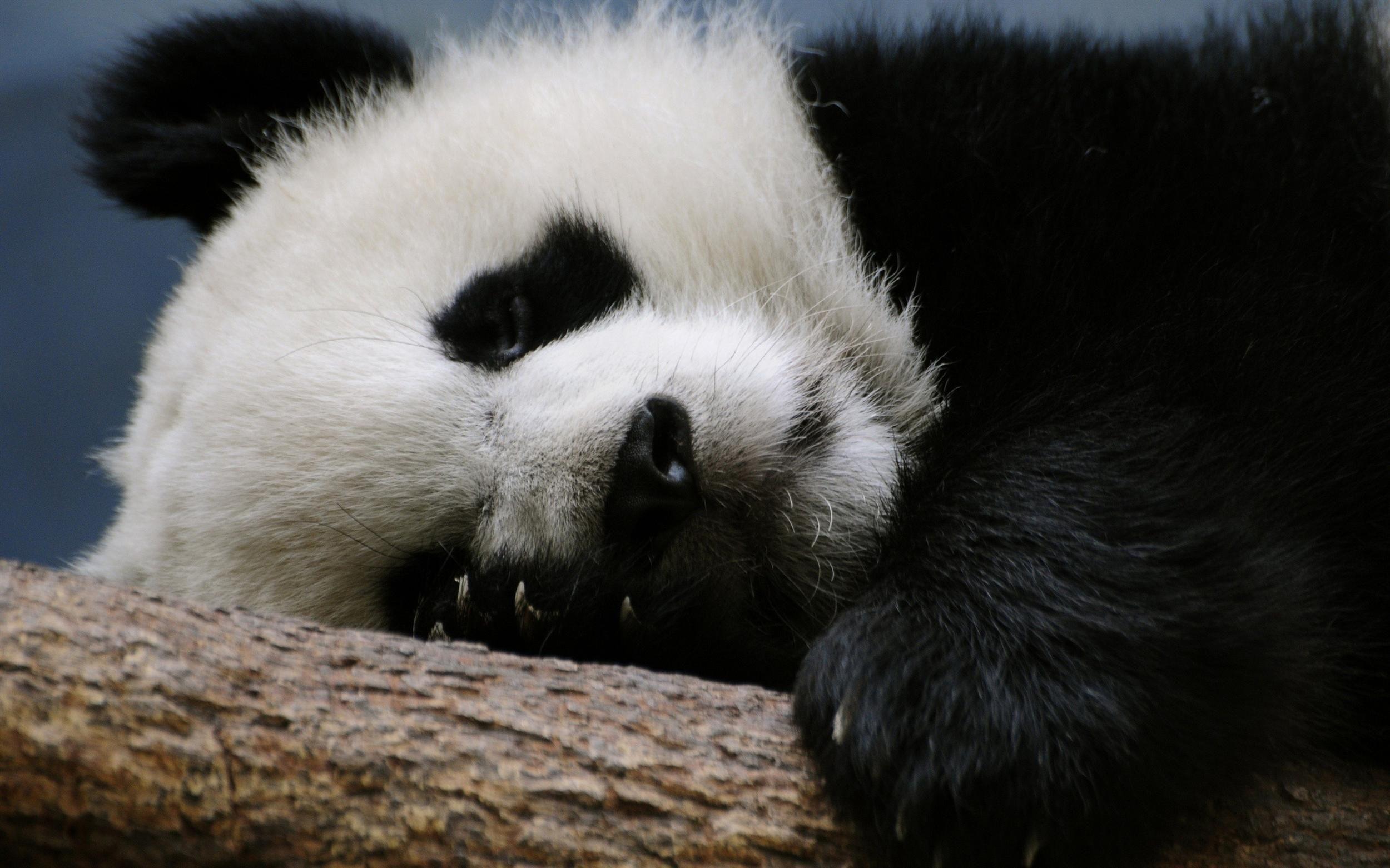 Pin By Kuro On Panda Love Panda Bear Panda Panda Wallpapers