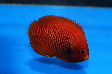 Golden Dwarf Angelfish