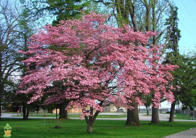 Pink Dogwood Tree Outdoor Love Dogwood Trees Flowering Trees