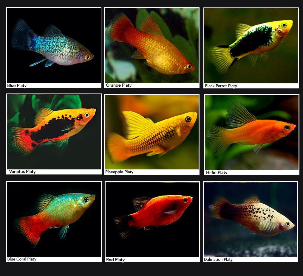 Platys Aquariumfreshwaterfishguys Platy Fish Fish Fish Tank