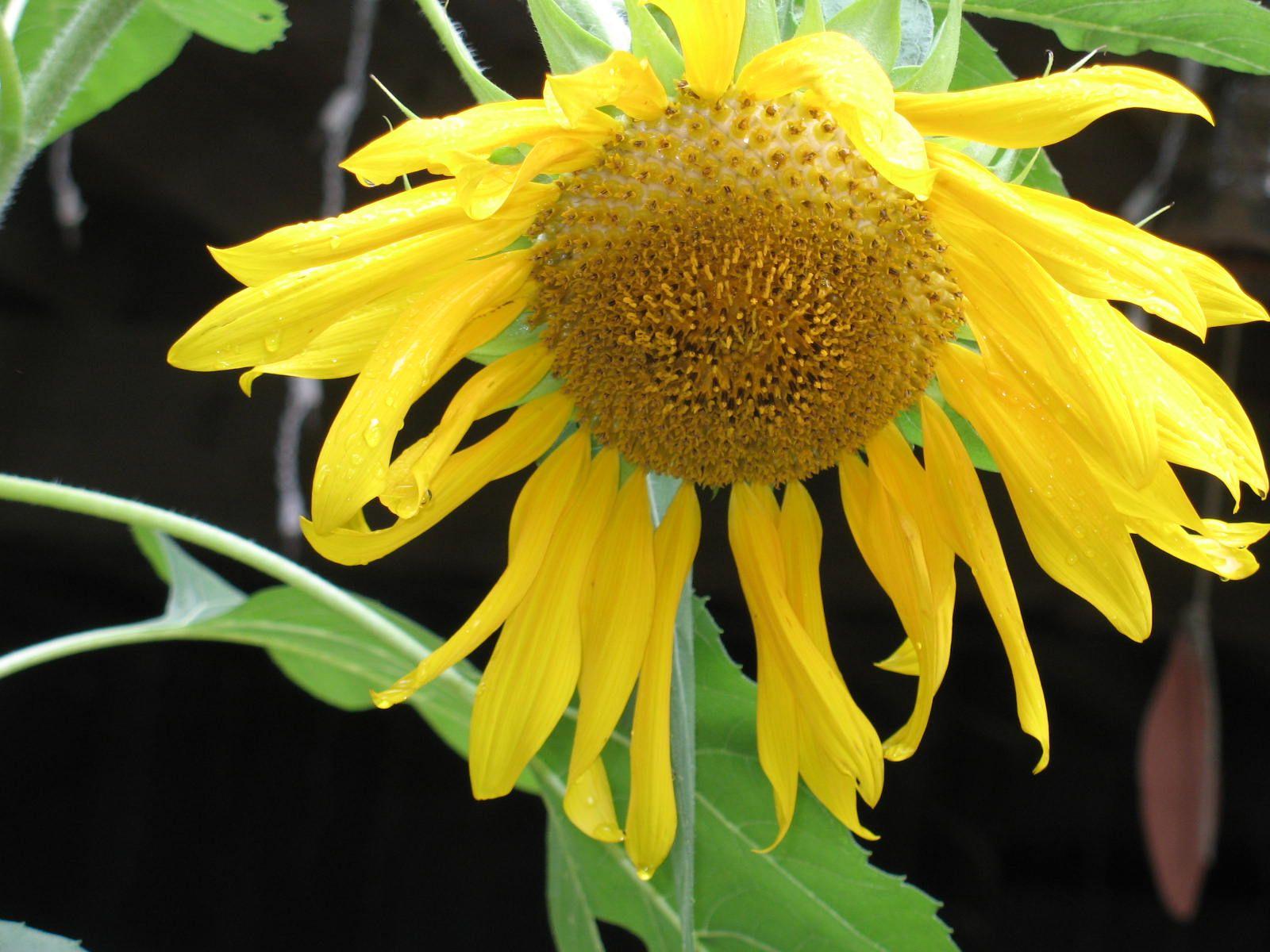 My sunflower has gone sad on me.