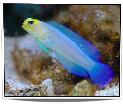Pearly Jawfish Pet Fish Saltwater Aquarium Fish Fish For Sale