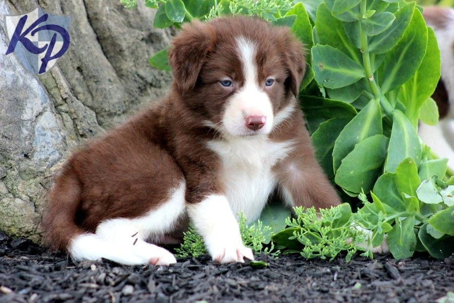 Annie Border Collie Puppies for Sale in PA Keystone