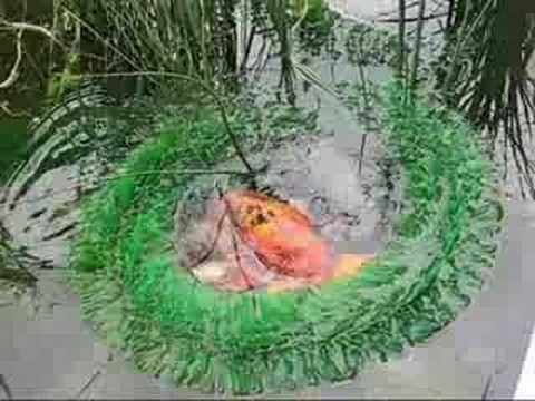 Gartenteich und meine koi beim laichen garden pond www for Koi fische im gartenteich