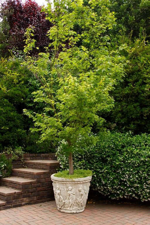 The delicate foliage of this deciduous tree makes it a for Garden deciduous trees