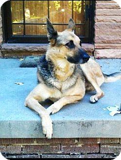Adopt A Pet Referral Greta Jean Denver Co German Shepherd Dog German Shepherd Dogs Shepherd Dog German Shepherd