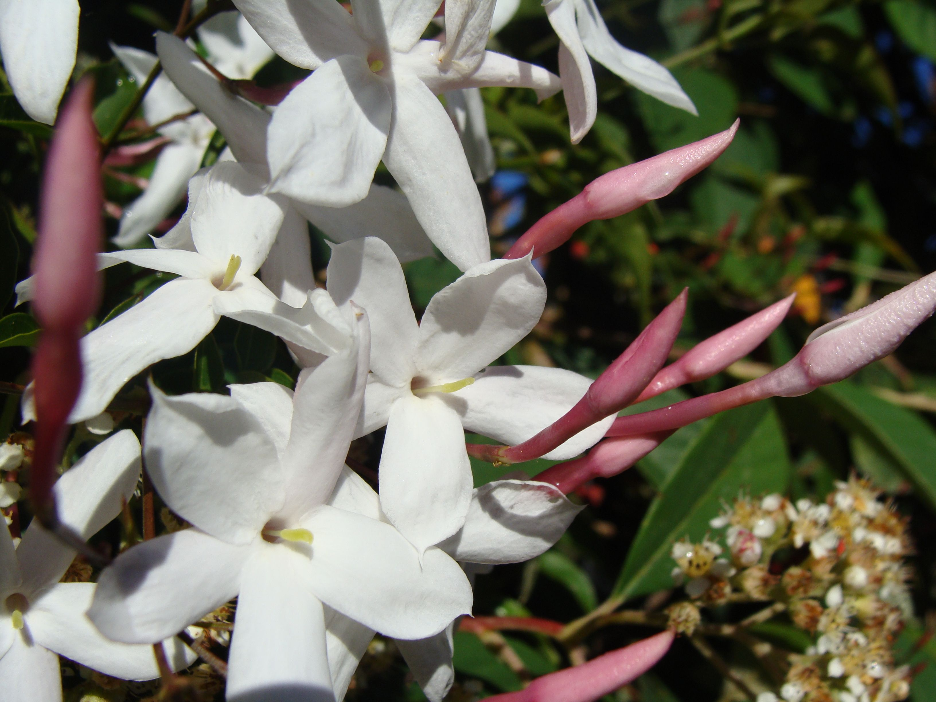 Jasminum officinale, known as the common jasmine or simply