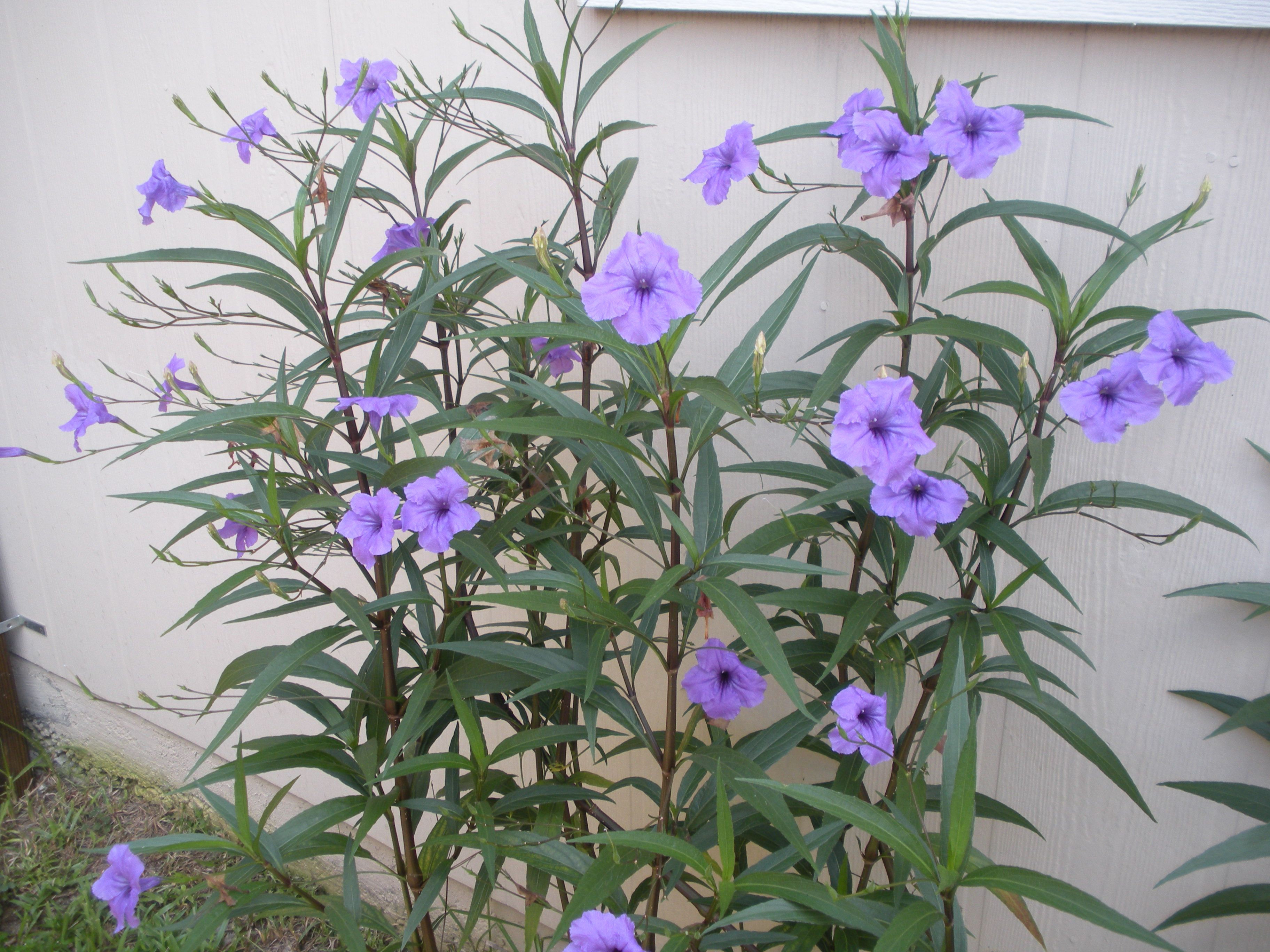 Mexican petunia  Love these   full of blooms until first