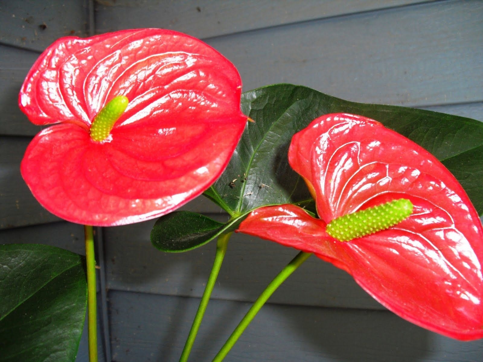 Anthuriums Anthurium Love Flowers Romantic Flowers