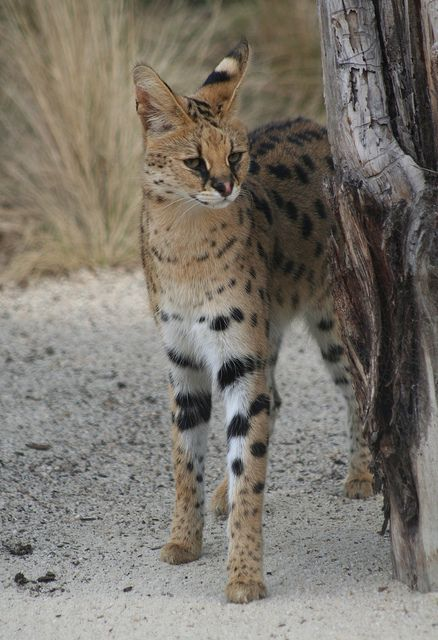 serval cat flickr intercambio de fotos the serval leptailurus serval has long legs for running and jumping big ears for hearing even animals