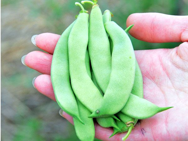 This Is An Improved Romano Bush Type Green Bean That