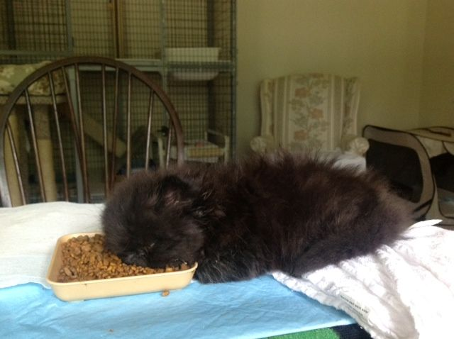 7 Weeks Old Black Male Persian Just Learning To Eat Dry Food Proved To Be Too Much For Him He Fell Asleep Photo Cheryl Do How To Fall Asleep Persian Kitten