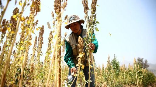 Quinua peruana no conoce la desaceleración y su exportación crece 222% entre enero y setiembre